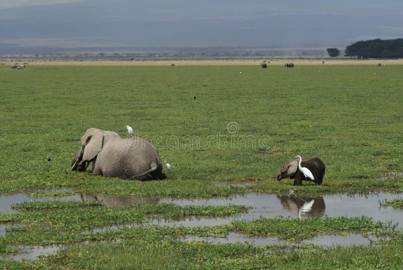 Comer dos elefantes foto de stock royalty free