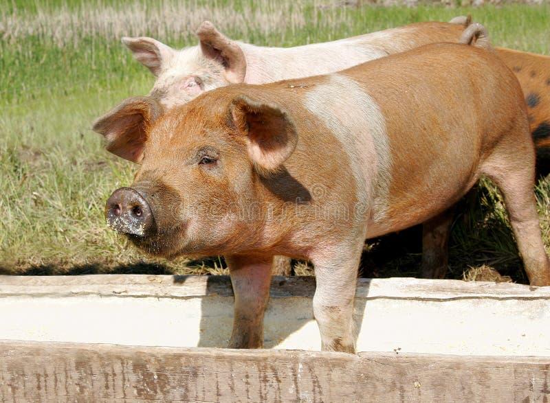 Comer dos porcos foto de stock royalty free