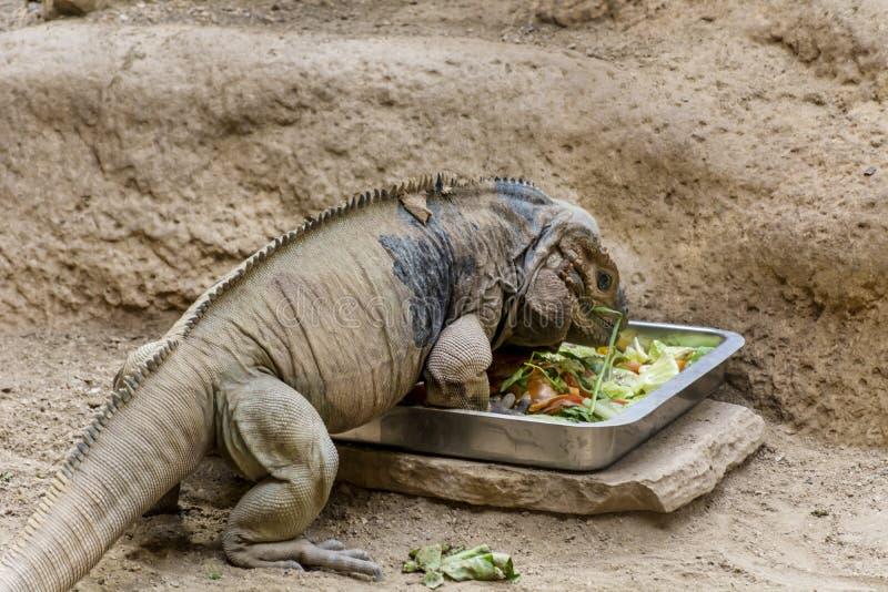 Comer grande da iguana fotos de stock