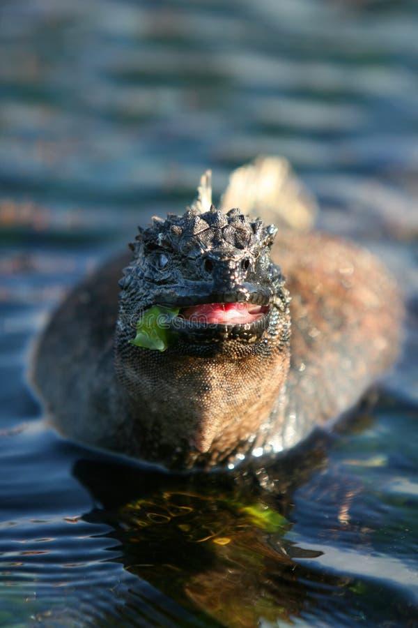 Comer marinho da iguana fotografia de stock royalty free