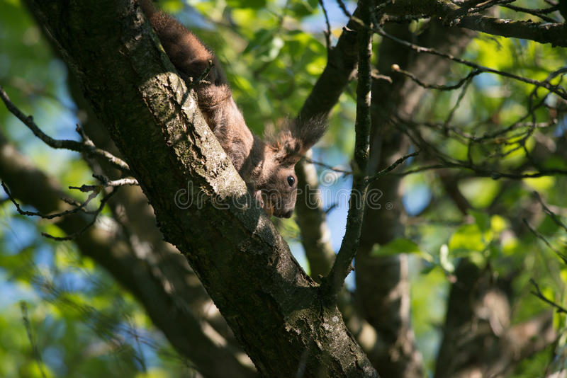 Comer pequeno do esquilo foto de stock royalty free
