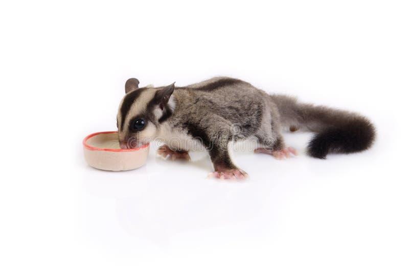Comer pequeno do esquilo de voo foto de stock