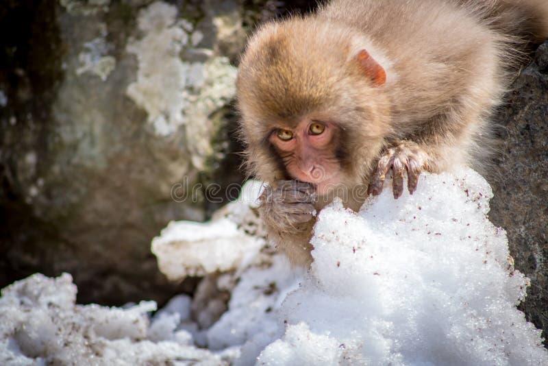 Comer pequeno do macaco fotos de stock