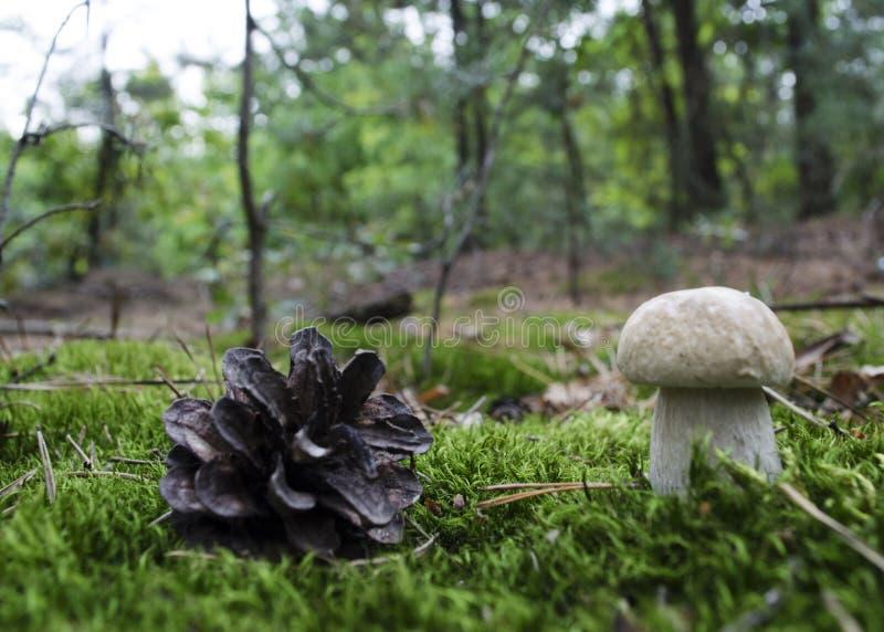 Comestível, cogumelo muito saboroso e valioso no condi do crescimento natural imagens de stock