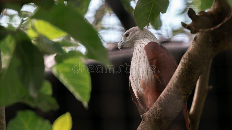Cometa Haliastur indus de Brahminy que se encarama en una rama con las hojas verdes fotos de archivo libres de regalías