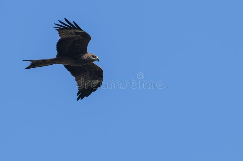 Cometa negra en vuelo imagen de archivo libre de regalías
