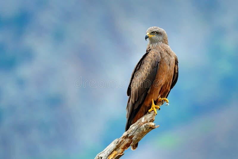 Cometa negra, migrans de Milvus, pájaro marrón de la rama de árbol de alerce de la presa que se sienta, animal en el hábitat Esce imágenes de archivo libres de regalías