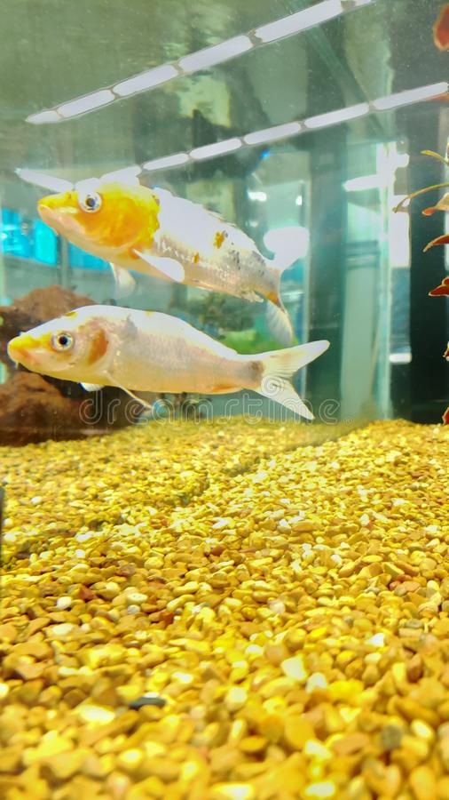 Cometfishes in a water tank stock photo