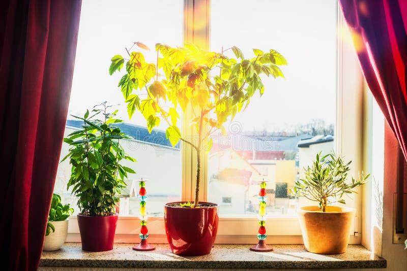 Comfortabel ruimtevenster met rode gordijnen, installaties en bloemenpotten op vensterbank bij zonnige dag Huis stock afbeeldingen