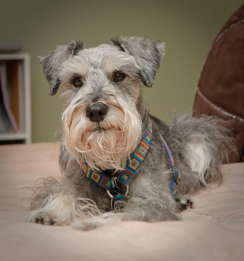 Comfortabele kleine grijze hond stock foto