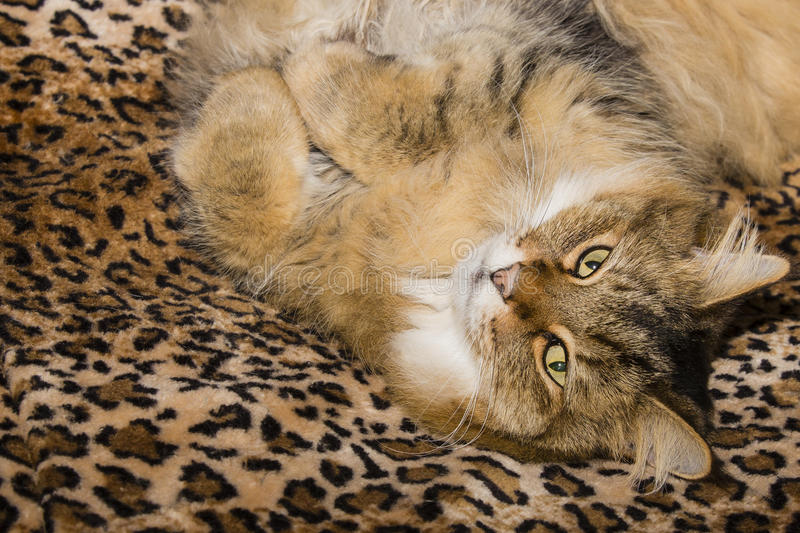 Comfortable Pixie Bob Cat on Leopard Blanket. Cute, fuzzy, furry, brown tabby purebred Pixiebob cat resting on faux leopard print blanket with paws curled under royalty free stock photo