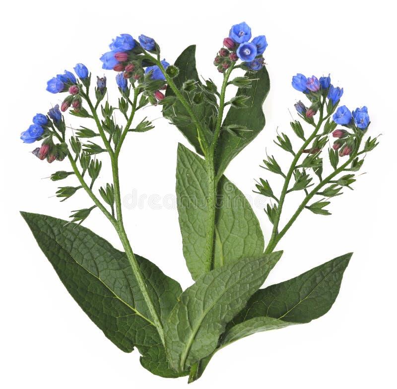 Free Comfrey Herb Royalty Free Stock Photo - 25425185