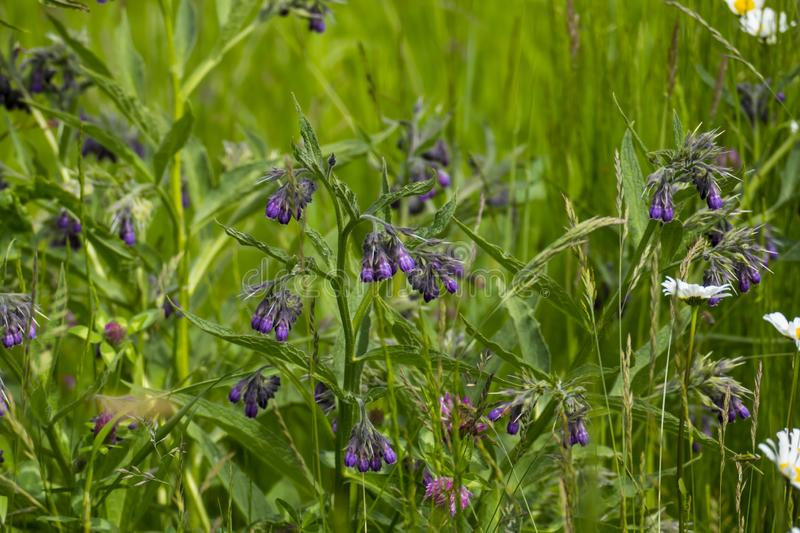 Comfrey plant, with mauve, violet of coloured blossom, green sheets, on the meadow. Comfrey plant, with mauve, violet of coloured blossom, and green sheets, on stock image