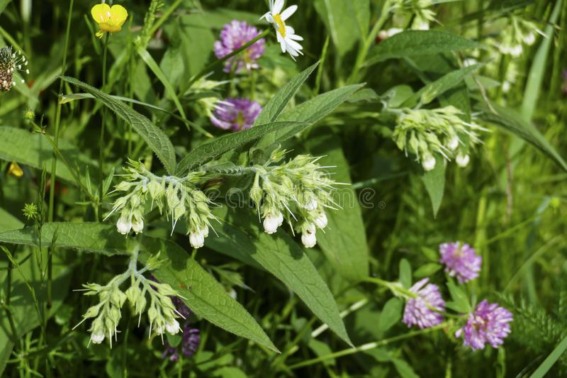 Comfrey plant, with mauve, violet of coloured blossom, green sheets, on the meadow. Comfrey plant, with mauve, violet of coloured blossom, and green sheets, on stock photos