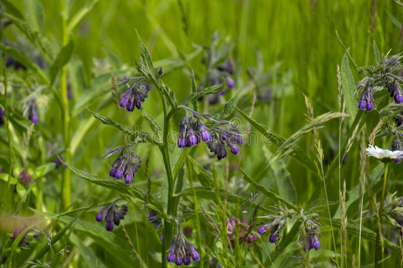 Comfrey plant, with mauve, violet of coloured blossom, green sheets, on the meadow. Comfrey plant, with mauve, violet of coloured blossom, and green sheets, on royalty free stock images