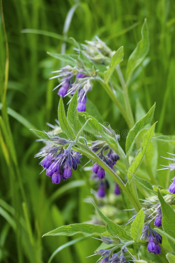 Comfrey plant, with mauve, violet of coloured blossom, green sheets, on the meadow. Comfrey plant, with mauve, violet of coloured blossom, and green sheets, on stock photography