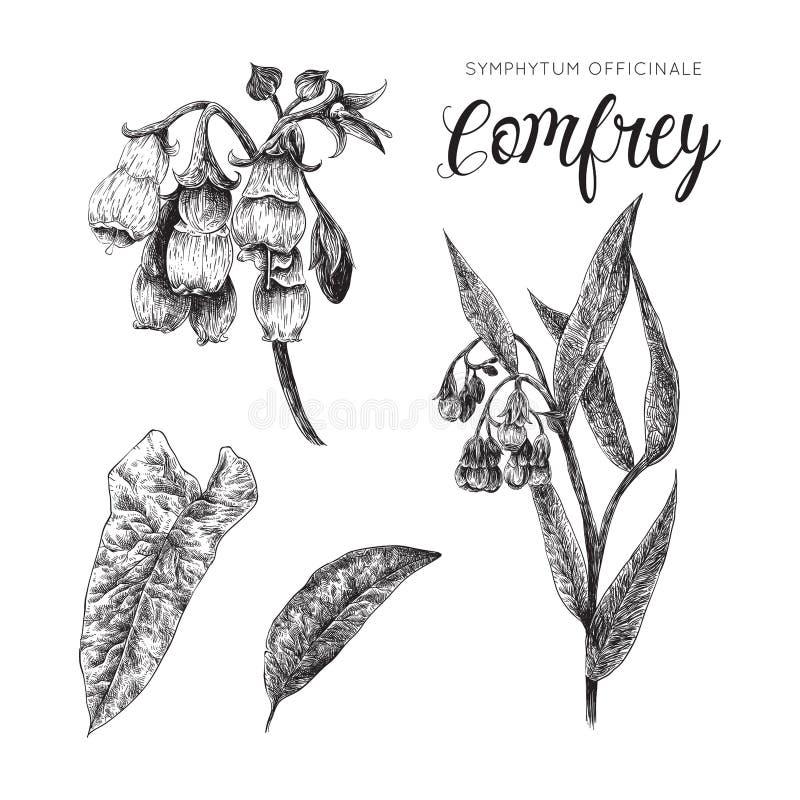 Comfrey - symphytum officinale czarny i biały kolekcja royalty ilustracja