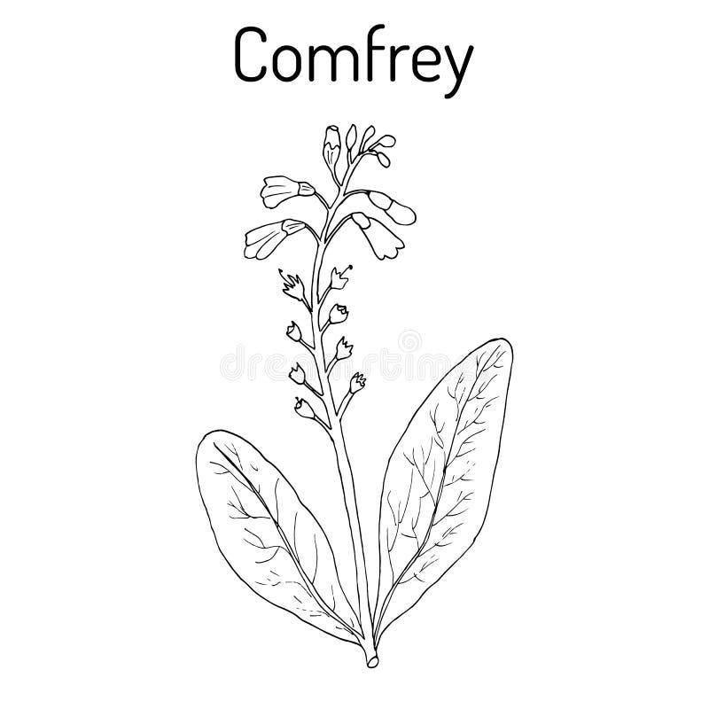 Comfrey Symphytum officinale lub boneset, knitbone, consound, korzeń, lecznicza roślina ilustracja wektor