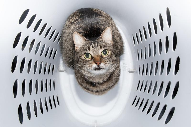 Comical image of a brown tabby cat sitting in a laundry hamper. Looking up royalty free stock photos