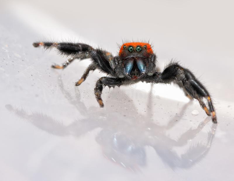 Comical image of a super cute, red and black Phidippus cardinalis stock photos
