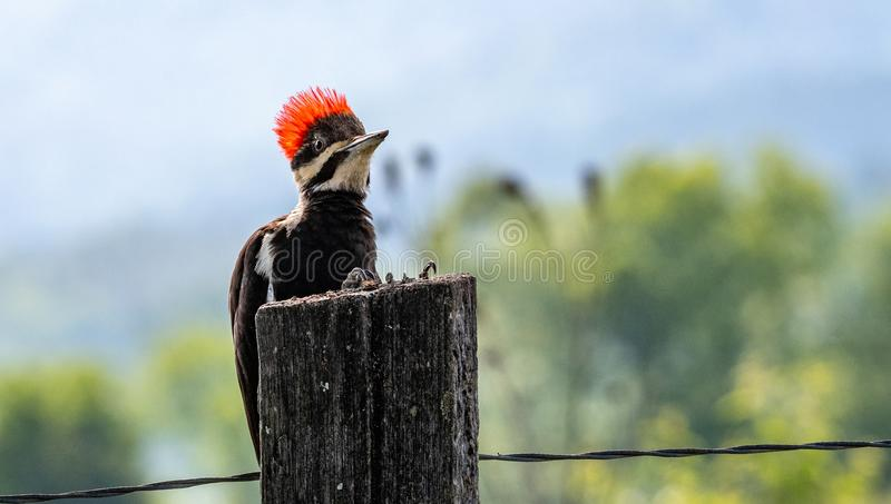 Pileated woodpecker on fence post royalty free stock photo