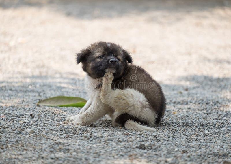 Comichão de risco carnudo do cachorrinho foto de stock