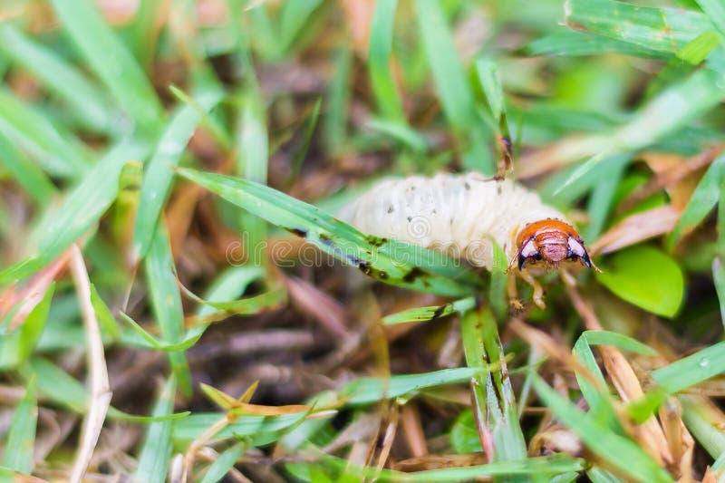 Comida blanca del abejorro en hierba verde imagenes de archivo