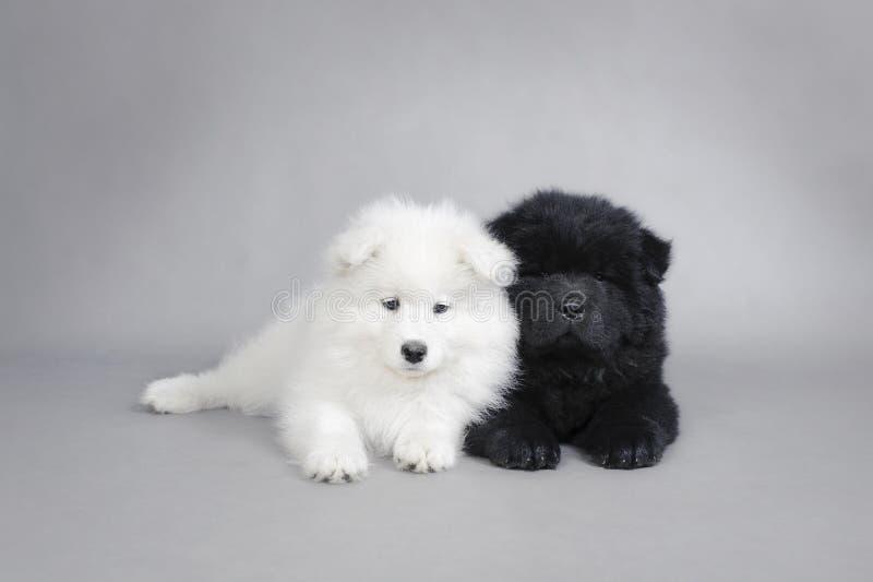 Comida da comida de Llittle e de filhotes de cachorro do Samoyed retrato fotografia de stock