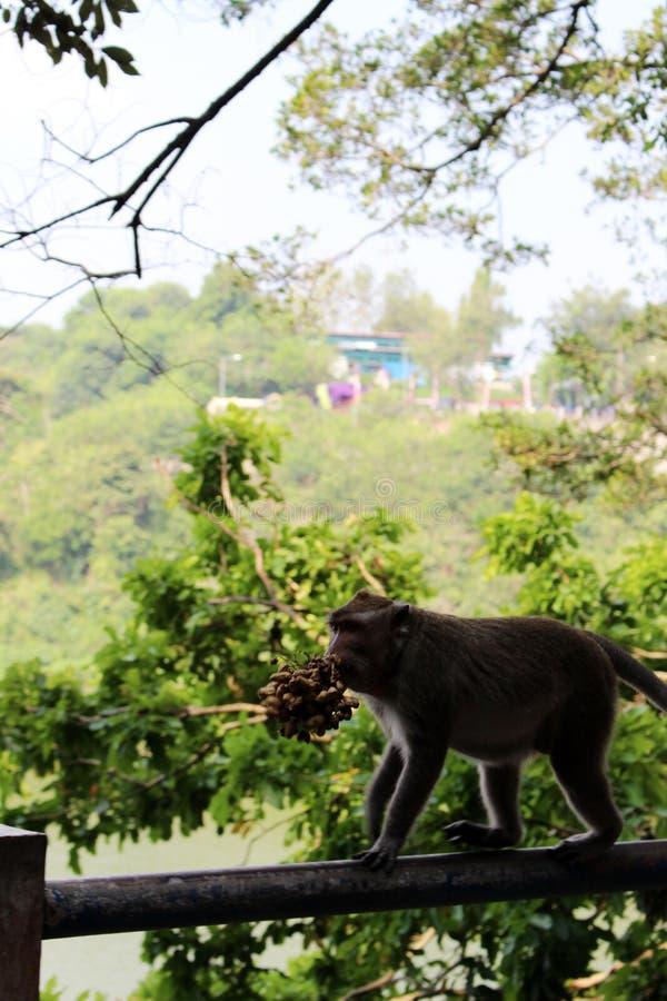 Comida de la caza del mono de la naturaleza fotografía de archivo
