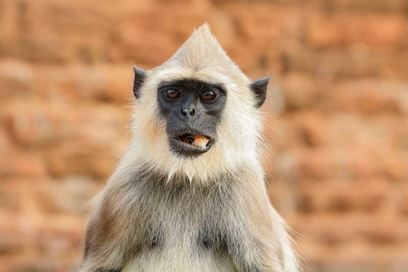 Comida en el bozal Langur común, entellus de Semnopithecus, mono con la fruta en la boca, hábitat de la naturaleza, Sri Lanka Sce foto de archivo libre de regalías