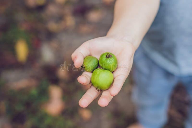 Comida exótica de Nueva Zelanda Nergi de la baya, o pequeño kiwi Picki del niño foto de archivo