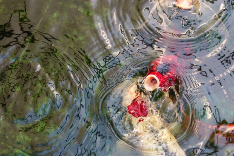 Comida que nada y que espera de las carpas de los pescados de lujo de los pescados o de Koi para en la charca, movimiento de la n foto de archivo libre de regalías