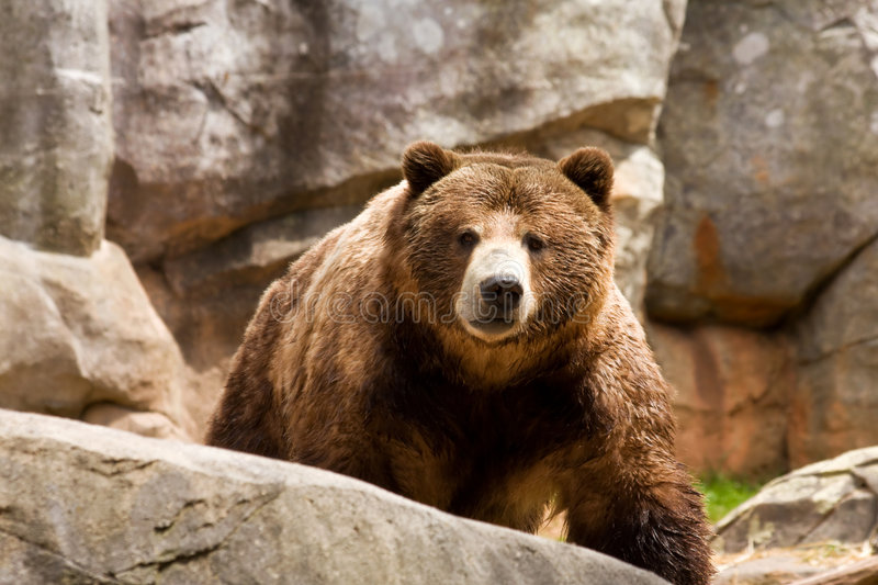 coming grizzly arkivbilder
