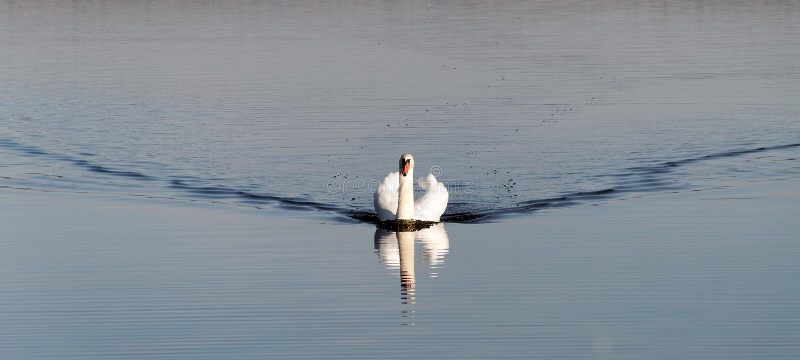 Coming swan. stock image