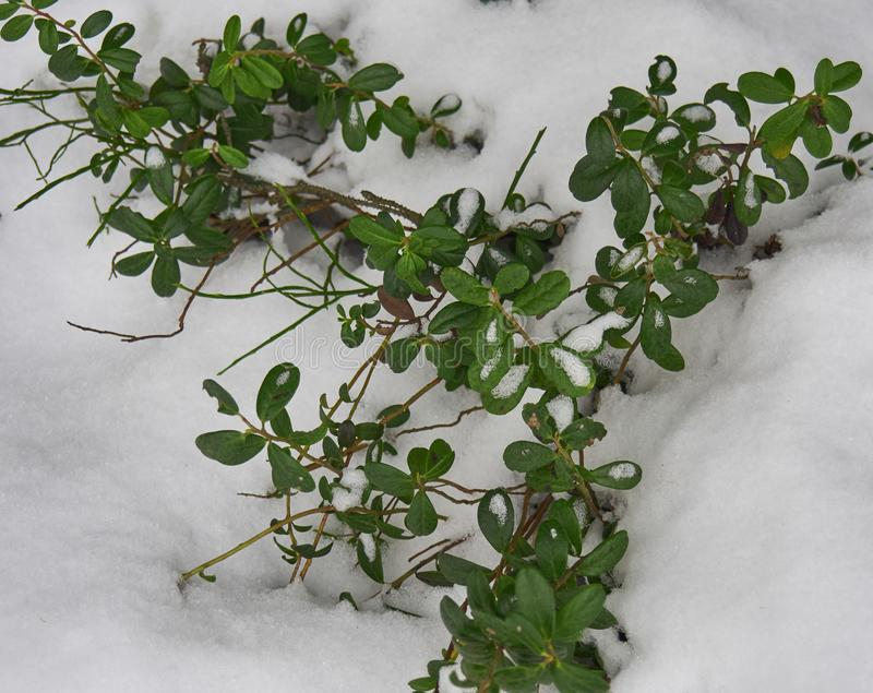 Cowberry bushes covered with the first snow. The coming winter. Shrubs of green cowberry under the first snow stock photography