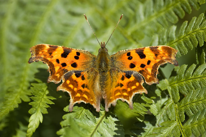 Download Comma Butterfly stock image. Image of antennae, biology - 10884389