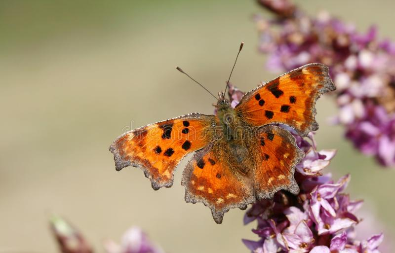 Comma butterfly. Orange comma butterfly sitting on flower stock images