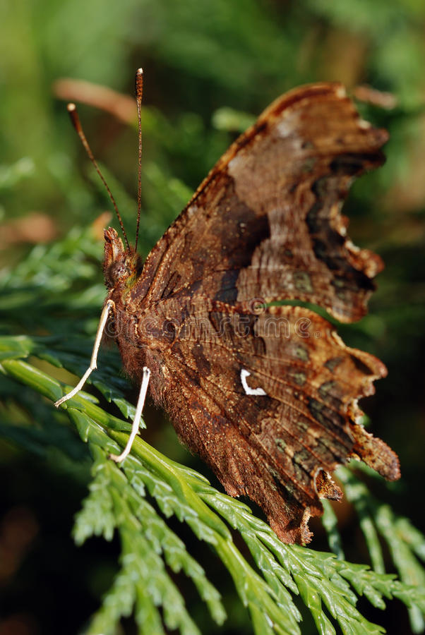 The comma butterfly (Polygonia c-album) stock images