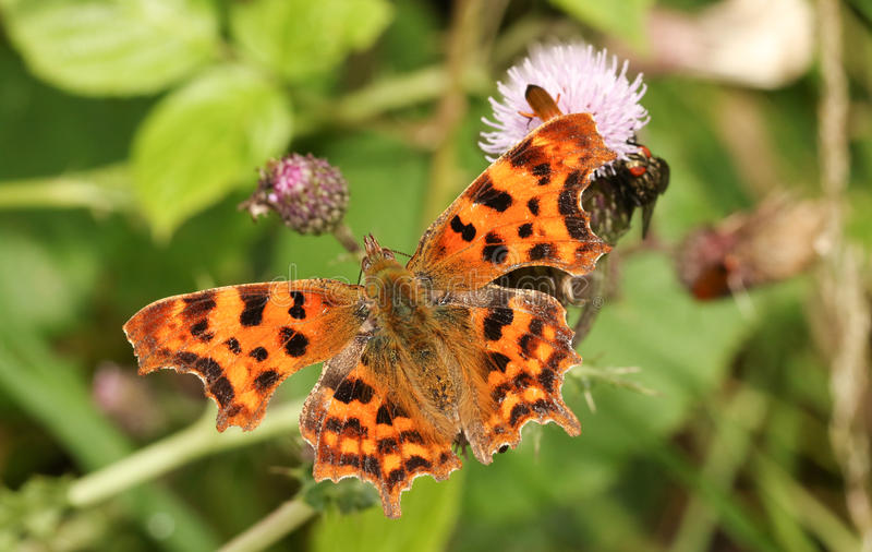 A Comma Butterfly Polygonia c-album nectaring on a thistle flower. stock images