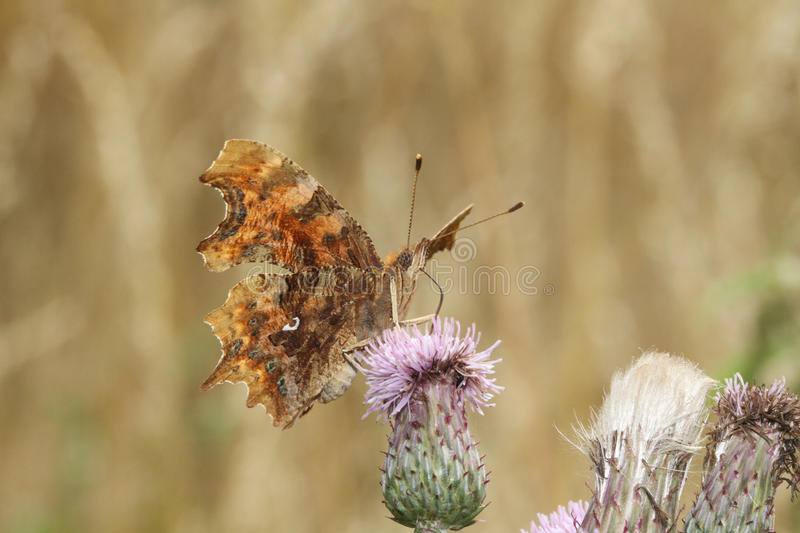 A Comma Butterfly Polygonia c-album, nectaring on a thistle flower. A stunning Comma Butterfly Polygonia c-album, nectaring on a thistle flower royalty free stock photography
