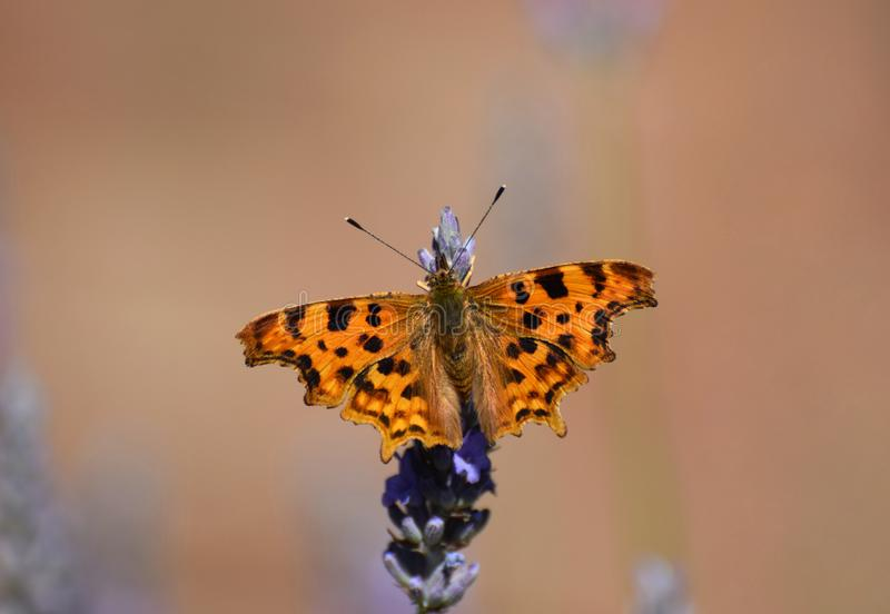 Comma Butterfly Polygonia c-album in Summer in the UK. The Comma Butterfly on lavender in  British garden in July stock photos