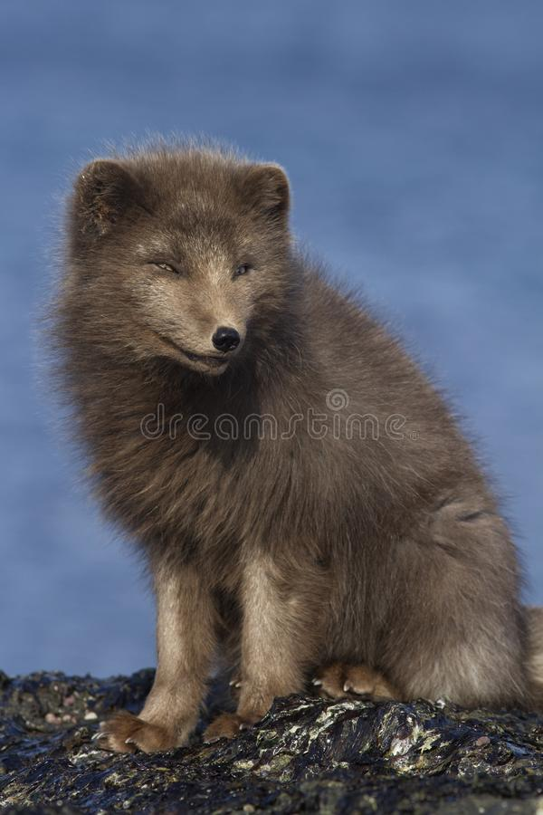 Commanders blue arctic fox that sits on a reef slab at low tide. On the seashore in the winter royalty free stock photos
