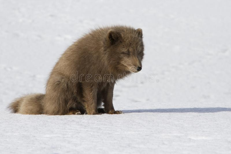 Commanders blue arctic fox that sits on the snow in the tundra o. N a winter sunny day royalty free stock photos