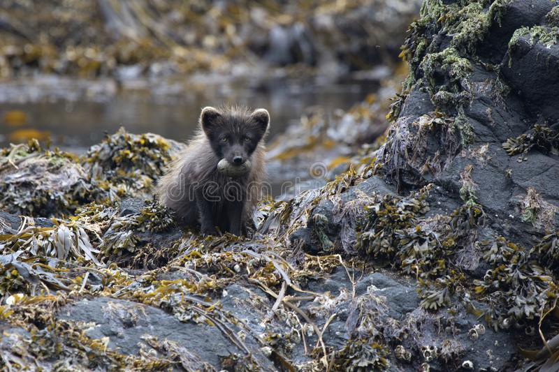 Commanders blue arctic fox sitting on a rocky island with glaucous-winged gull eggs in the teeth royalty free stock image