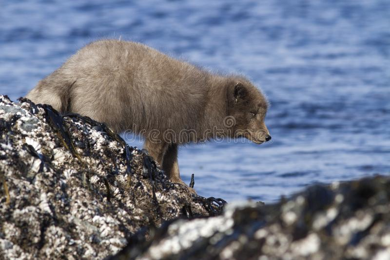 Commanders blue arctic fox that stands on a reef slab at low tide on the seashore on a winter day stock photo