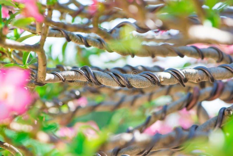 Commandez la branche par le fil dans le style de bonsaïs de l'arbre d'Adenium ou le désert s'est levé dans le pot de fleur photos stock