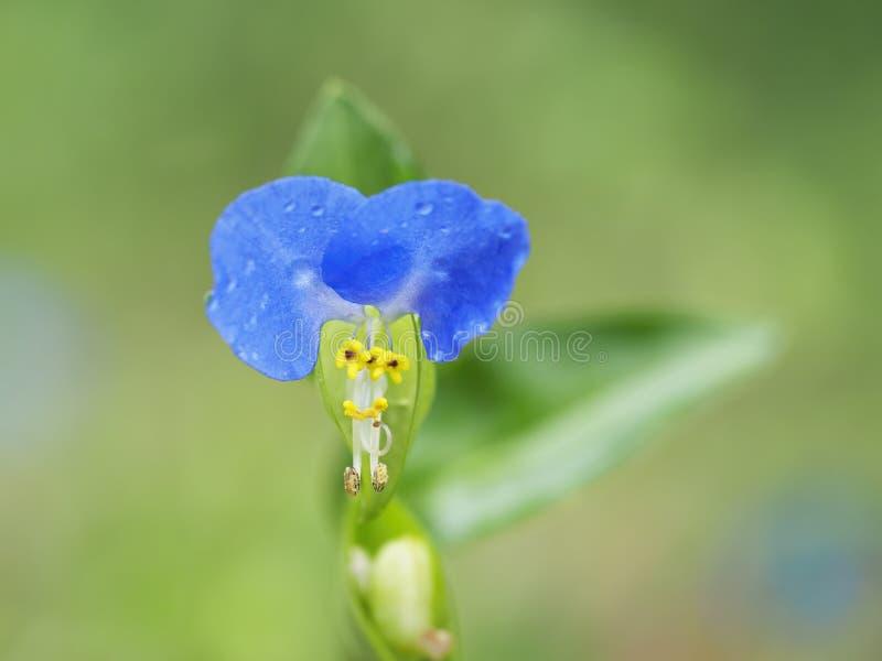 Commelina communis aka Asiatic dayflower. Detail of a single azure blue flower. Wildflower macro. Commelina communis aka Asiatic dayflower. Detail of a single stock photo