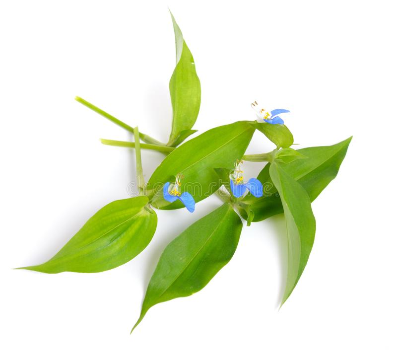 Commelina communis, conosciuto comunemente come il dayflower asiatico Iso fotografie stock libere da diritti