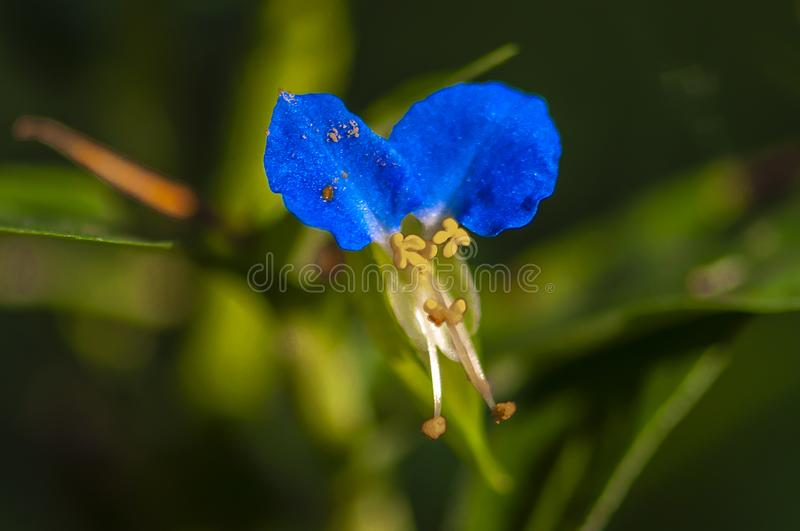 Commelina communis L. Photographed in Changchun, China stock images