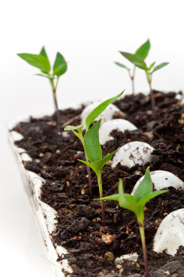 Commencer des légumes des graines images libres de droits